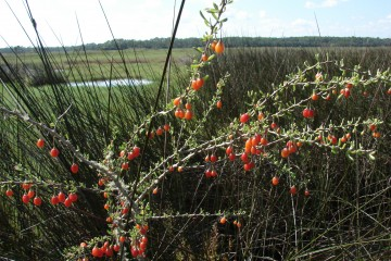 Christmasberry (Lycium carolinianum) grows at the landward edge of a brackish salt marsh with black needle rush (Juncus roemerianus) and salt grass (Distichlis spicata).