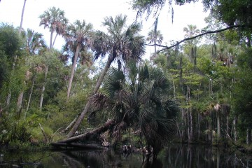 A cabbage palm leaning over Bulow Creek at Tomoka Marsh Aquatic Preserve