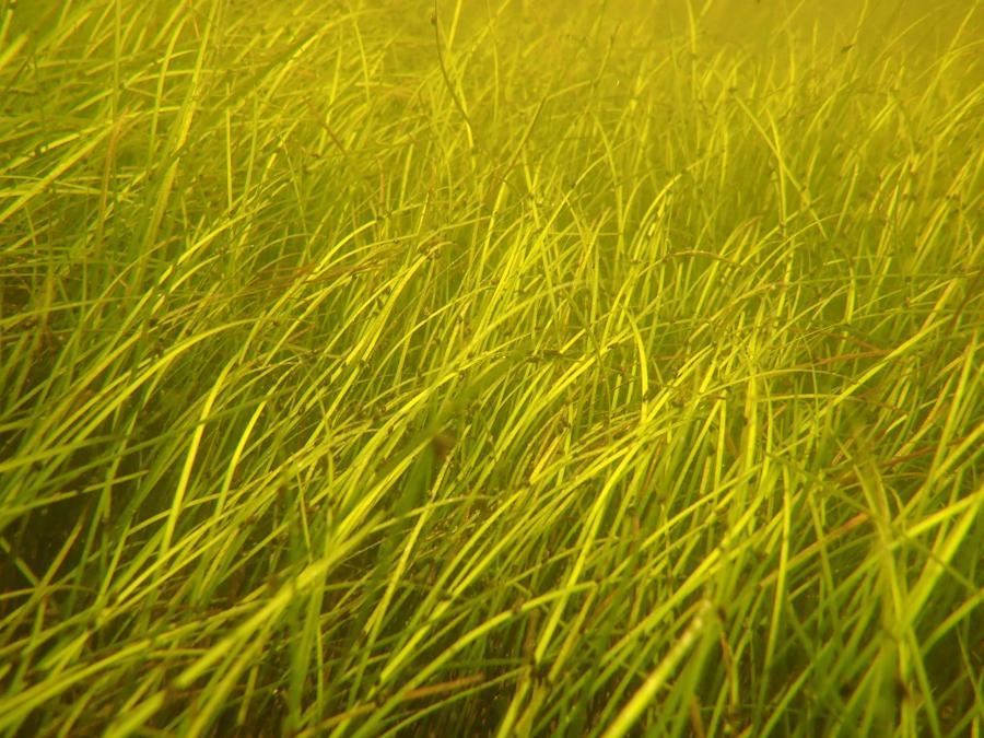Gasparilla Sound-Charlotte Harbor Aquatic Preserve-Shoal grass