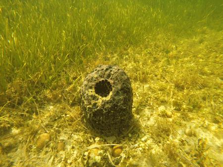 Loggerhead sponge resting on hardbottom area in Citrus County