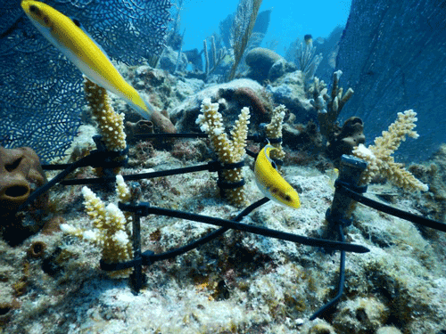 Staghorn Coral is not susceptible to SCTLD