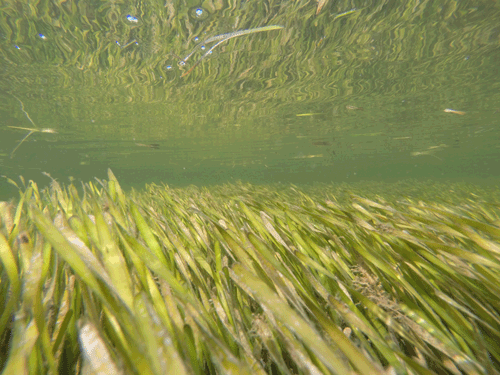 Turtle grass (Thalassia testudium) on outgoing tide in Citrus County