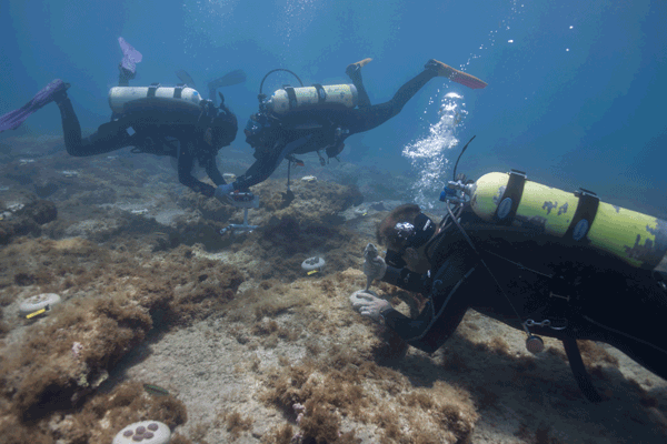 Divers outplanting SCTLD-susceptible coral colonies