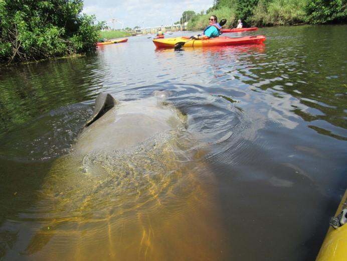 manatee on turkey creek near Malabar with Katie Bernier of OGT by Doug Alderson, OGT