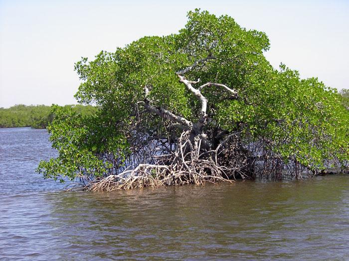 mangrove aquatic preserve