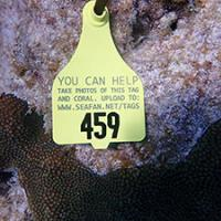 Photo of a diseased coral tagged for monitoring
